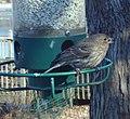Female House Finch (4280136926).jpg