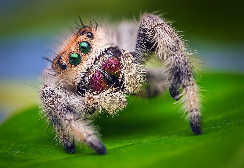 File:Female Jumping Spider - Phidippus regius - Florida.jpg