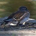 Female Manadrin Duck (10440819963).jpg