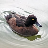 Female Tufted Duck 800.jpg