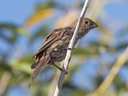 Female house finch carpodacus mexicanus