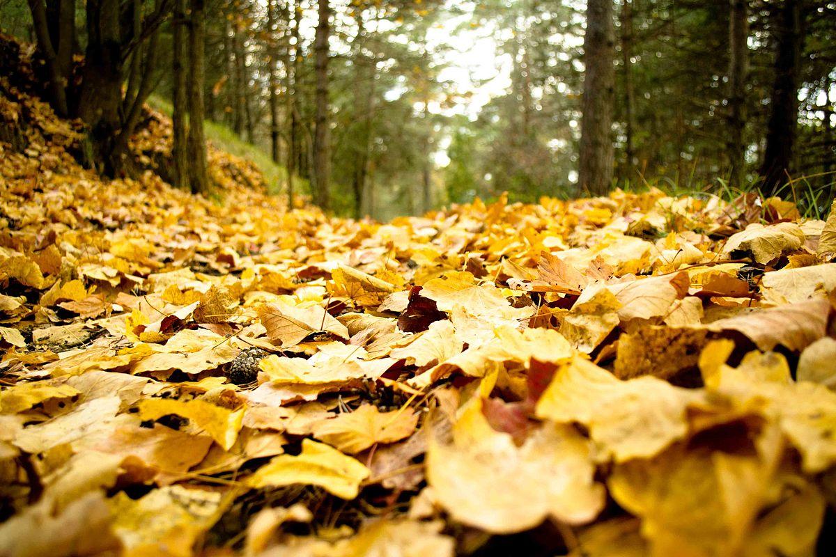 Feuille morte wikip dia - Arbres a feuilles caduques ...