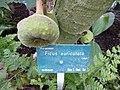 Ficus auriculata-detail.JPG