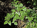 Ficus carica 20091015.jpg