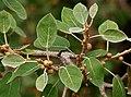 Ficus mollis in Keesaraguda, AP W2 IMG 9134.jpg