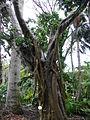Ficus rubiginosa 01c by Line1.jpg
