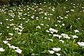 Field of Lilies (222275926).jpg