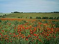 Field of poppies at East Ilsley - geograph.org.uk - 1402864.jpg