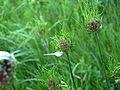 Field or Wild Garlic (Allium vineale) - Flickr - Jay Sturner (2).jpg