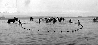 Seine fishing - Haul seining with horses on the Columbia River, undated photo by John Nathan Cobb