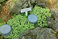Fittonia albivenis (Fittonia verschaffeltii var. argyroneura) - Shinjuku Gyo-en Greenhouse - Tokyo, Japan - DSC05766.jpg