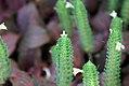 Fittonia albivenis 1zz.jpg