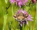 Fjärilar Butterfly (22778482143).jpg