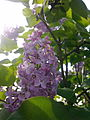 Fleurs de lilas mauve à Grez-Doiceau 007.jpg