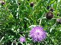 Fleurs violettes non identifiées à Grez-Doiceau 001.jpg