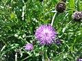 Fleurs violettes non identifiées à Grez-Doiceau 002.jpg