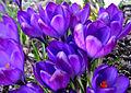 Flickr - Per Ola Wiberg ~ mostly away - blue crocus.jpg