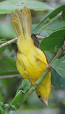 Flickr - Rainbirder - Little Yellow Flycatcher (Erythrocercus holochlorus) (1).jpg