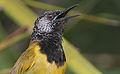 Flickr - Rainbirder - Oriole Warbler (Hypergerus atriceps).jpg