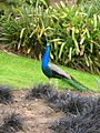 Flickr - brewbooks - Peacock.jpg