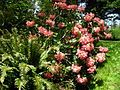 Flickr - brewbooks - Rhododendron - John M's Garden (2).jpg