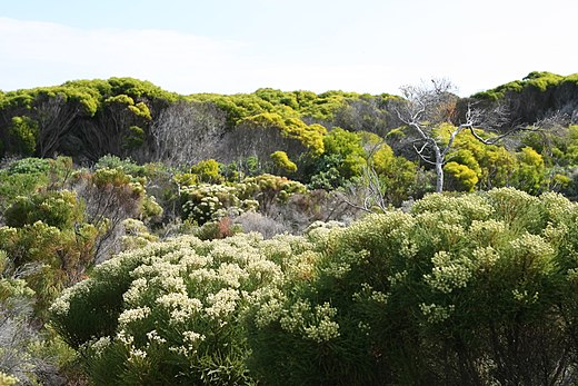 Fynbos in the Western Cape Flora at Cape Peninsula.JPG