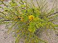 Flora del Cerro del Muerto, Aguascalientes 02.JPG