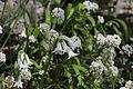 Flora della Sardegna 184 (2).JPG