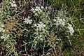 Flora della Sardegna 303 (2).JPG