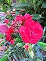 Floribunda (rose).jpg