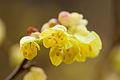 Flower, Spike winter hazel - Flickr - nekonomania (1).jpg