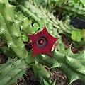 Flower of Huernia schneideriana.jpg