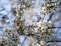 Flower viewing custom, Japan; April 2014 (04).jpg