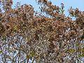 Flowering Murdah (3394091485).jpg