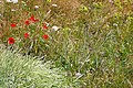 Flowers above Freshwater Cliff - geograph.org.uk - 1378871.jpg