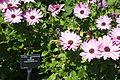 Flowers at Ventnor Botanic Garden in August 2011 16.JPG