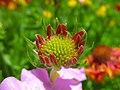 Flowers of Iran گلهای ایران 36.jpg