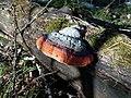 Fomitopsis pinicola 121289182.jpg