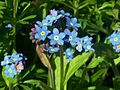 Forget-me-not (Myosotis sp.).jpg