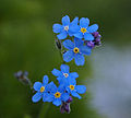 Forget me not (2566961169).jpg