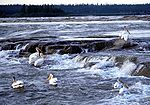 White birds with wide orange beaks swim near a rocky ledge of a swift wide river.