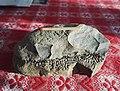 Fossil 085453.jpg