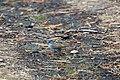 Fox sparrow (48114853527).jpg