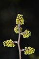 Fragrant Sumac (Rhus aromatica) - Guelph, Ontario 2017-05-15.jpg