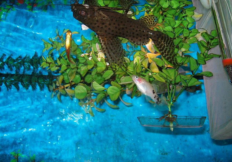 File:Freatherfin Squeaker with Southern Platyfish.jpg