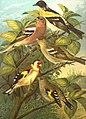 Fringillidae naumann.jpg