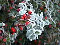 Frosted Berries On A Frosted Branch (39861760).jpeg