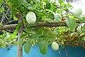 Fruits de la passion à São Tomé (1).jpg