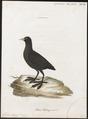 Fulica atra - 1786-1789 - Print - Iconographia Zoologica - Special Collections University of Amsterdam - UBA01 IZ17500221.tif