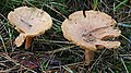 Fungi - geograph.org.uk - 248476.jpg